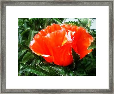 Poppy Flower Framed Print by Heather L Wright