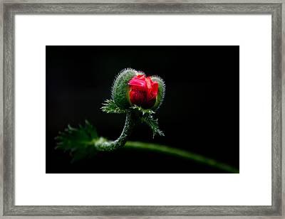Poppy Flower Framed Print by Mikhail Pankov