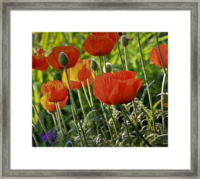 Framed Print featuring the photograph Poppy Flower by Nick Mares