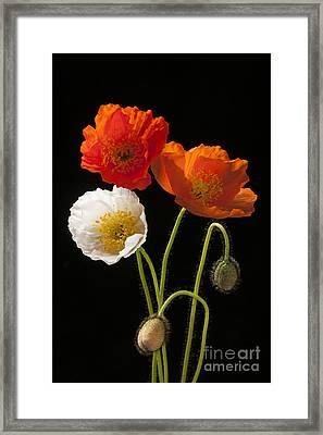 Poppy Flowers On Black Framed Print by Elena Elisseeva