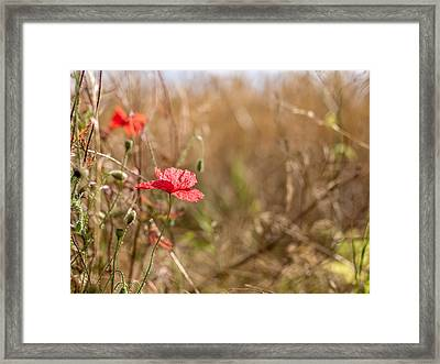 Framed Print featuring the photograph Poppy. by Gary Gillette