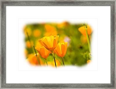 Poppy Gold Framed Print by Larry Goss