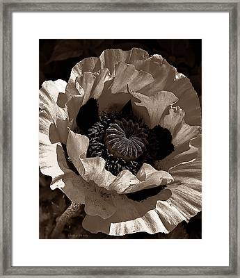 Poppy In Browns Framed Print by Chris Berry