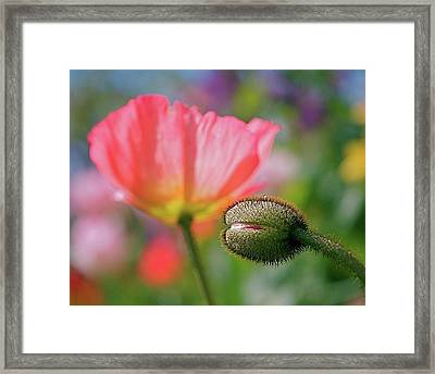 Poppy In Waiting Framed Print by Rona Black