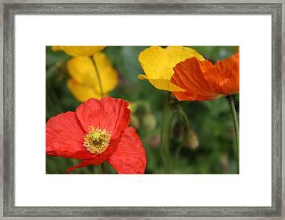 Poppy Iv Framed Print