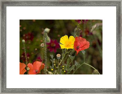 Framed Print featuring the photograph Poppy Love by Mark Greenberg