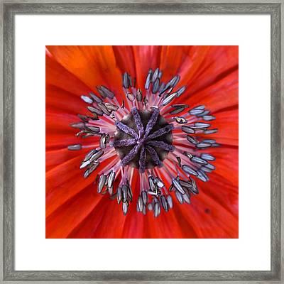 Poppy - Macro Framed Print by Marianna Mills