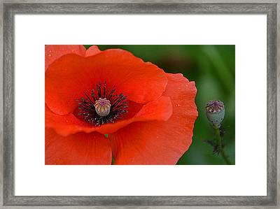 Poppy Framed Print by Marjorie Tietjen