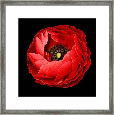 Poppy On Black Background Framed Print