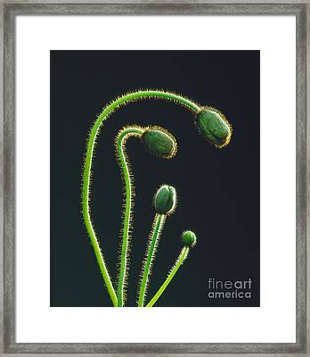 Poppy Buds Framed Print