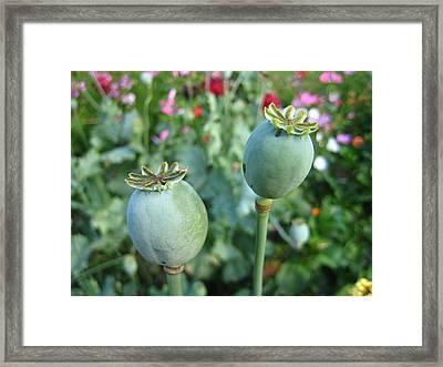 Poppy Pods Framed Print by Shirley Sirois