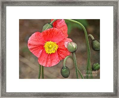 Poppy Power Framed Print