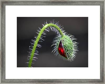Poppy Red Lamp Framed Print