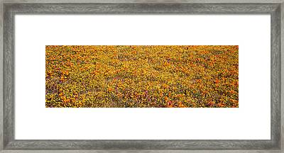 Poppy Reserve Mojave Desert Ca Usa Framed Print by Panoramic Images