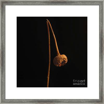 Poppy Seed Head Framed Print