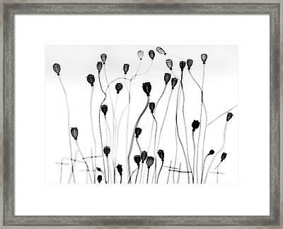Poppy Seedheads Framed Print by Albert Koetsier X-ray