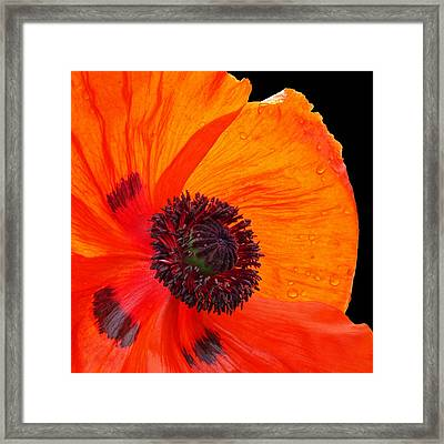 Poppy With Raindrops 2 Framed Print by Gill Billington