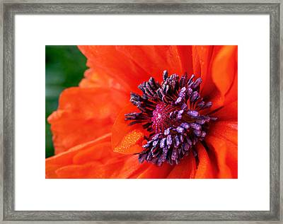 Poppy's Purple Passion Framed Print by Bill Pevlor