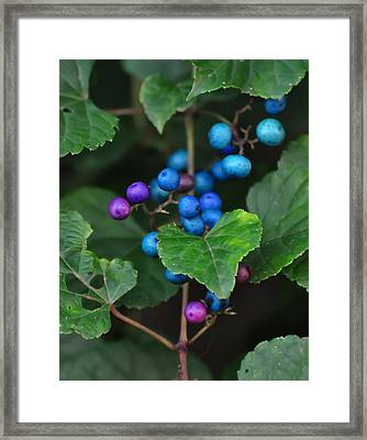 Porcelain Berries On A Vine Framed Print by Chris Flees