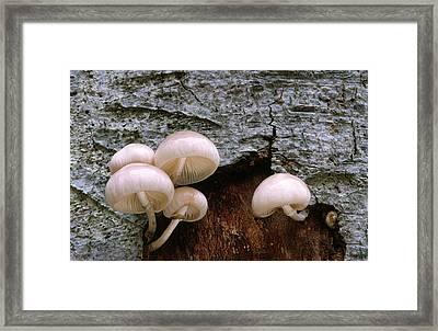 Porcelain Or Poached-egg Fungus Framed Print