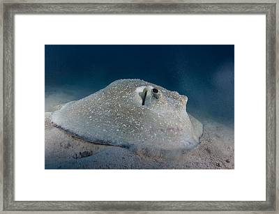 Porcupine Ray Feeding On Seabed Framed Print by Science Photo Library