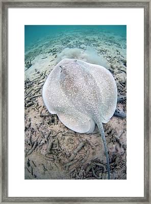 Porcupine Ray On Coral Rubble Framed Print by Scubazoo