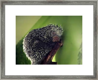 Porcupine Slumber Framed Print by Melanie Lankford Photography