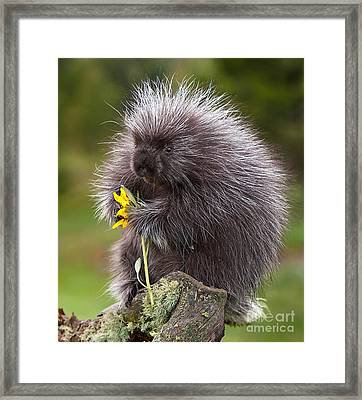 Porcupine With Arrowleaf Balsamroot Framed Print by Jerry Fornarotto