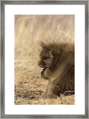 Porky Profile Framed Print