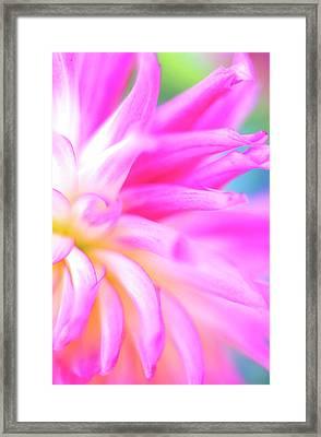 Portland Dahlia Framed Print by Kathy Yates