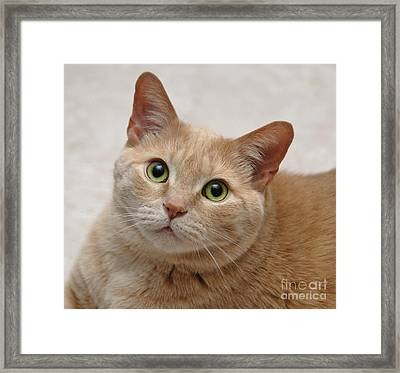 Portrait - Orange Tabby Cat Framed Print by Amy Cicconi