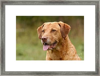 Portrait Chesapeake Bay Retriever Dog Framed Print by Dog Photos