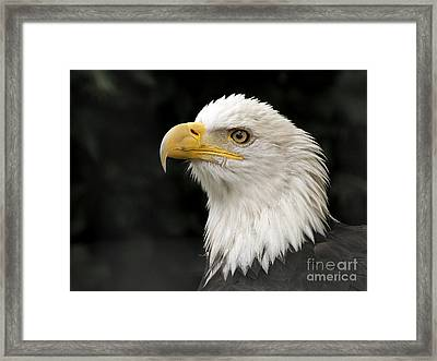 Framed Print featuring the photograph Portrait Of A Bald Eagle by Inge Riis McDonald