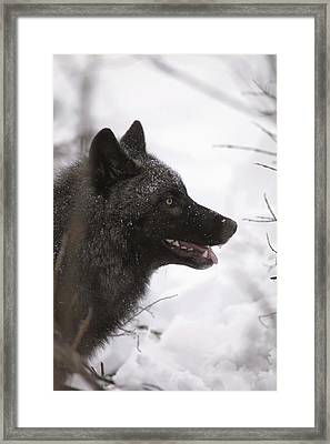 Portrait Of A Black Wolf, Eureka Pass Framed Print by Calvin Hall