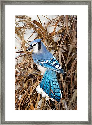 Portrait Of A Blue Jay Framed Print