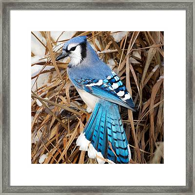 Portrait Of A Blue Jay Square Framed Print