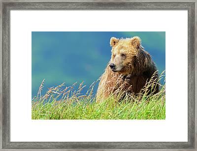 Portrait Of A Brown Bear  Portrait Framed Print by Deb Garside