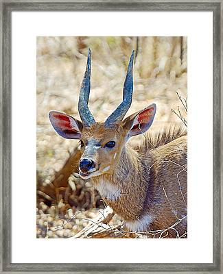 Portrait Of A Bushbuck In Kruger National Park-south Africa  Framed Print by Ruth Hager
