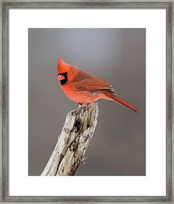 Portrait Of A Cardinal Framed Print