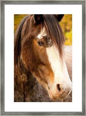 Portrait Of A Clydesdale Framed Print