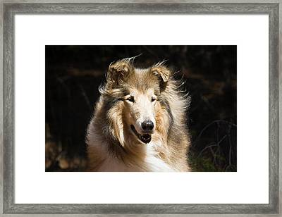 Portrait Of A Collie With Dark Framed Print
