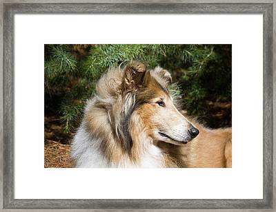 Portrait Of A Collie Framed Print