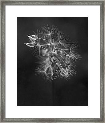 Portrait Of A Dandelion Framed Print by Rona Black