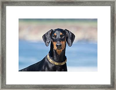 Portrait Of A Doberman Pinscher Framed Print by Zandria Muench Beraldo