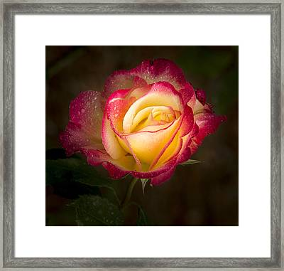 Portrait Of A Double Delight Rose Framed Print by Jean Noren