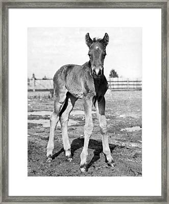 Portrait Of A Foal Framed Print