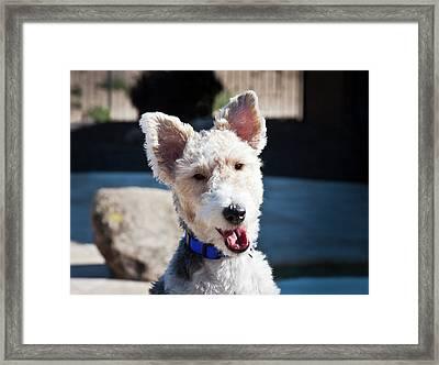 Portrait Of A Fox Terrier Puppy Sitting Framed Print by Zandria Muench Beraldo