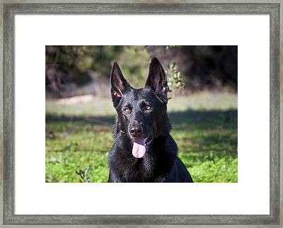 Portrait Of A German Shepherd Sitting Framed Print by Zandria Muench Beraldo