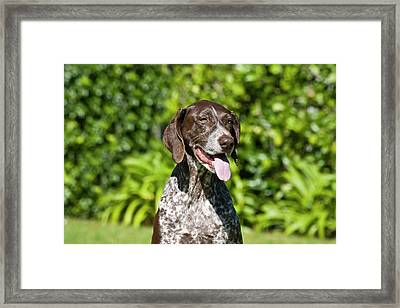 Portrait Of A German Shorthaired Framed Print