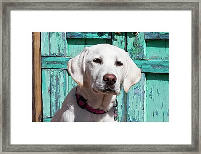 Portrait Of A Goldendoodle Puppy Framed Print by Zandria Muench Beraldo
